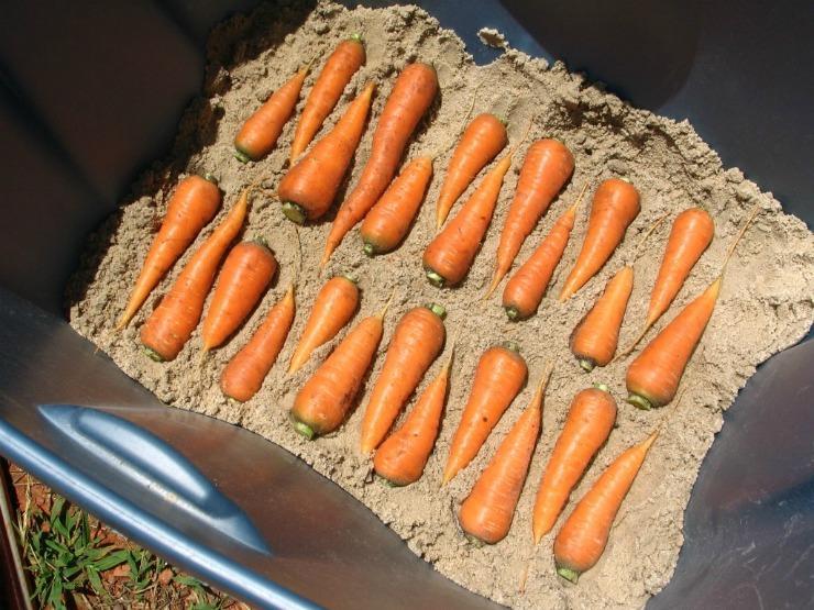 Хранение моркови в погребе