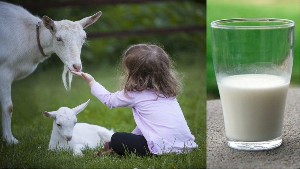 хранение козьего молока