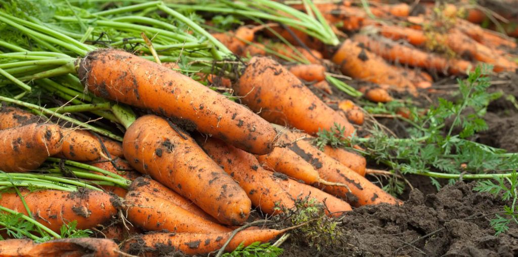 сбор морковки