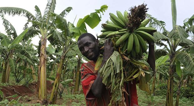 сборка и транспортировка бананов