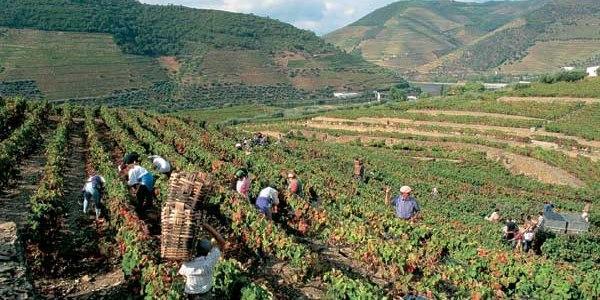 сбор винограда для хранения