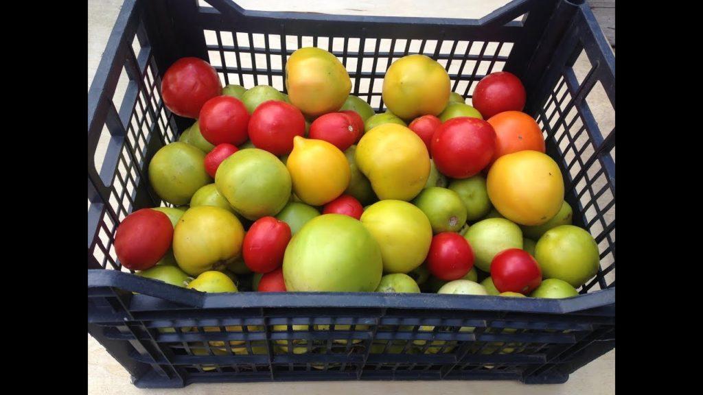 как хранить зеленые помидоры