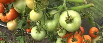 зеленые помидоры хранение