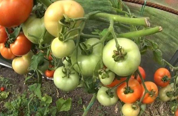 как хранить маринованные помидоры в квартире